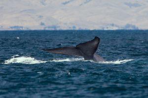 13_ISLANDIA360-ballenas-azules-Islandia