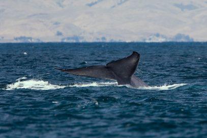 Avistadas un centenar de balenas azules
