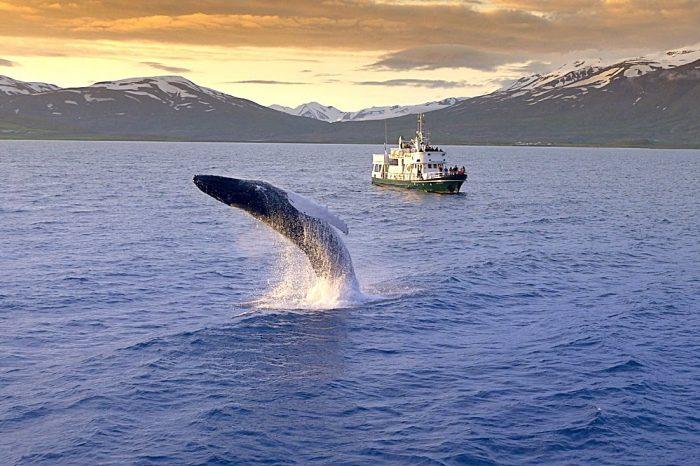 Avistar ballenas desde Reykjavík