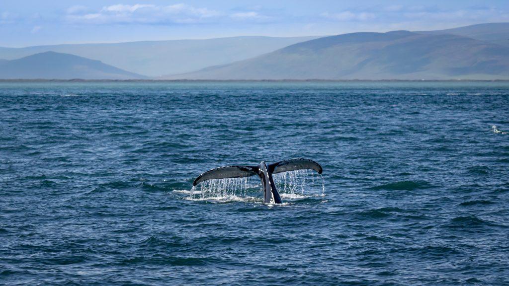 Ballenas en el Norte de Islandia